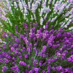 lavender_botanical.JPG