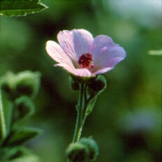 marshm_botanical.JPG
