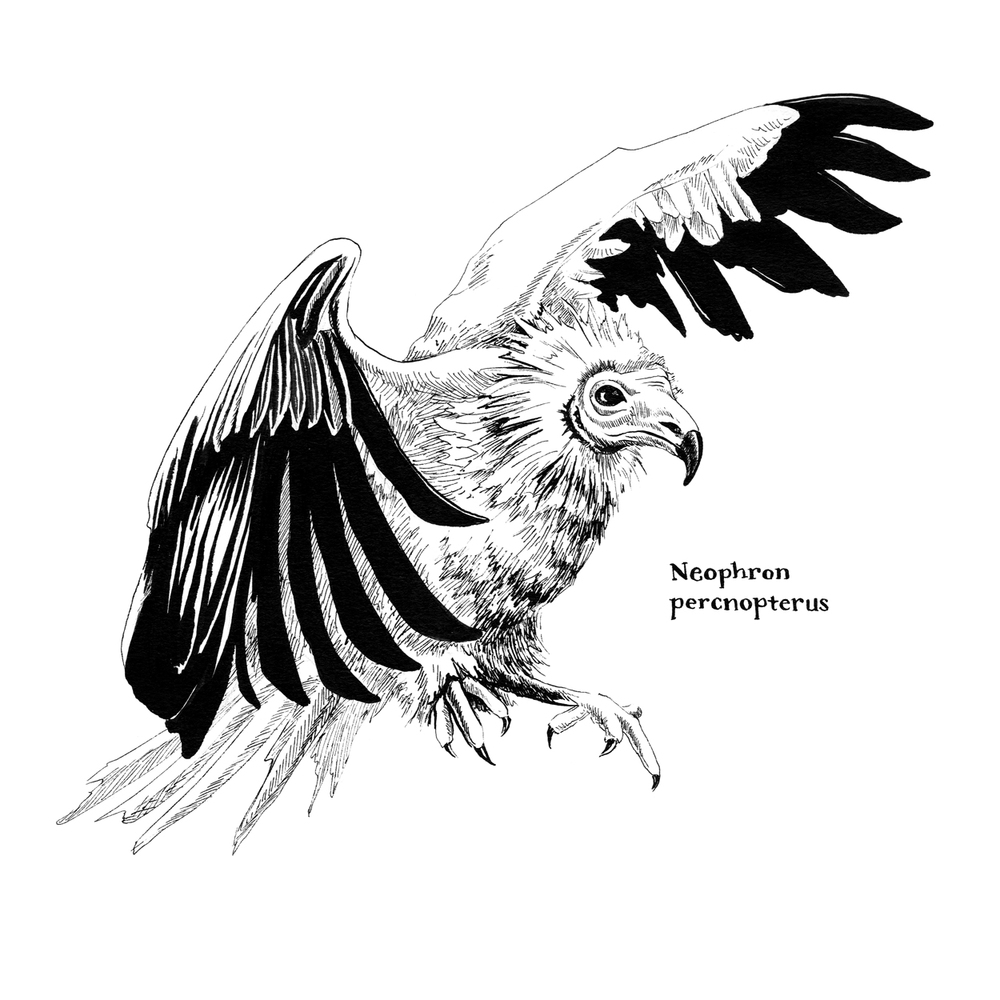 Neophron-percnopterus_Egyptian-Vulture.jpg