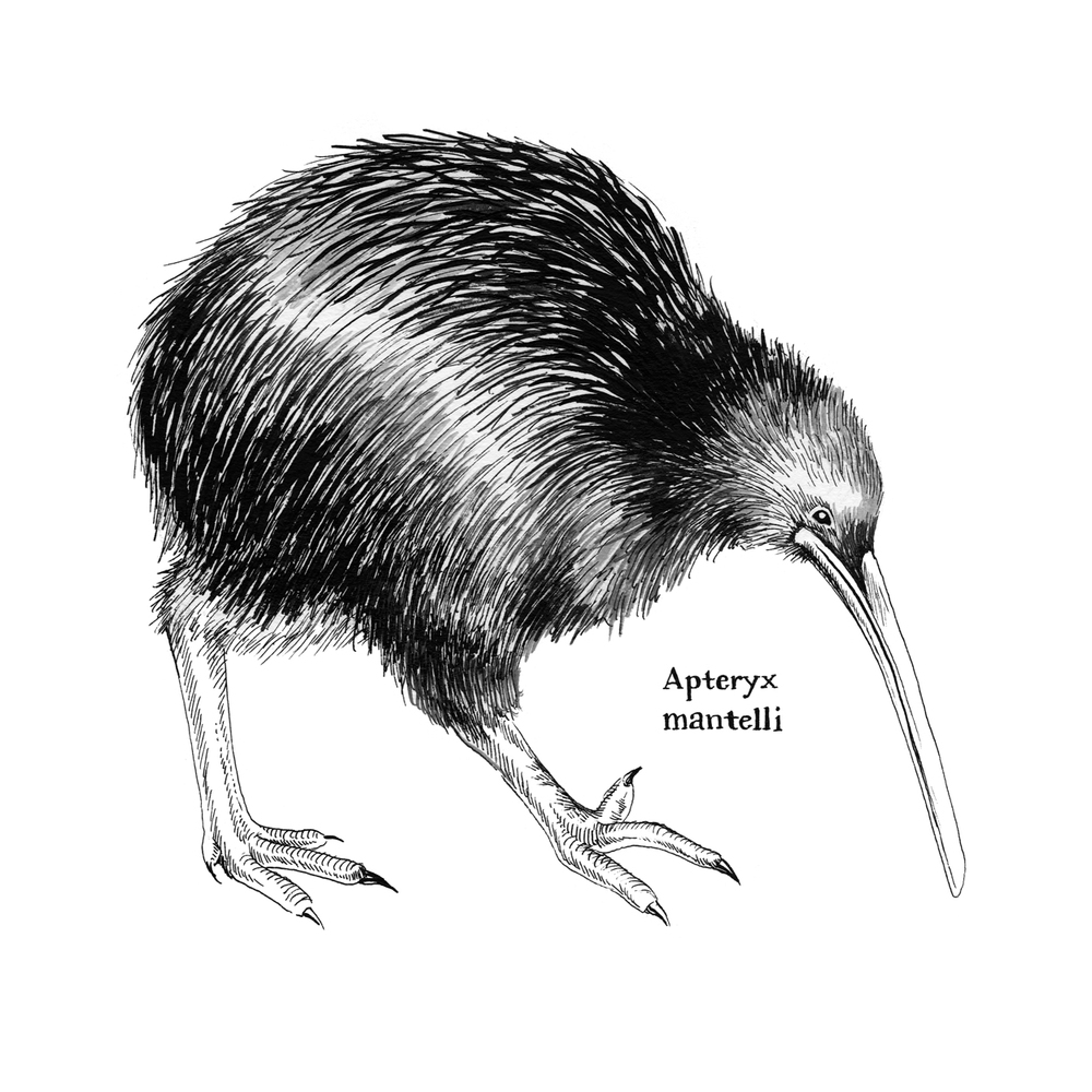 Northern Brown Kiwi