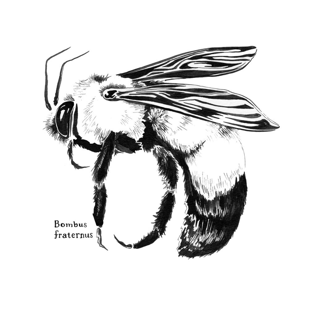 Bombus fraternus