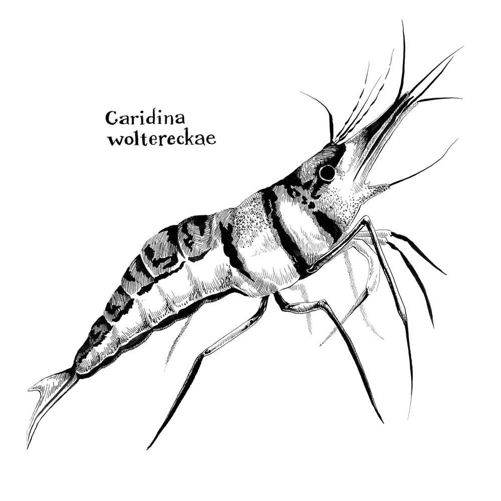 Caridina woltereckae