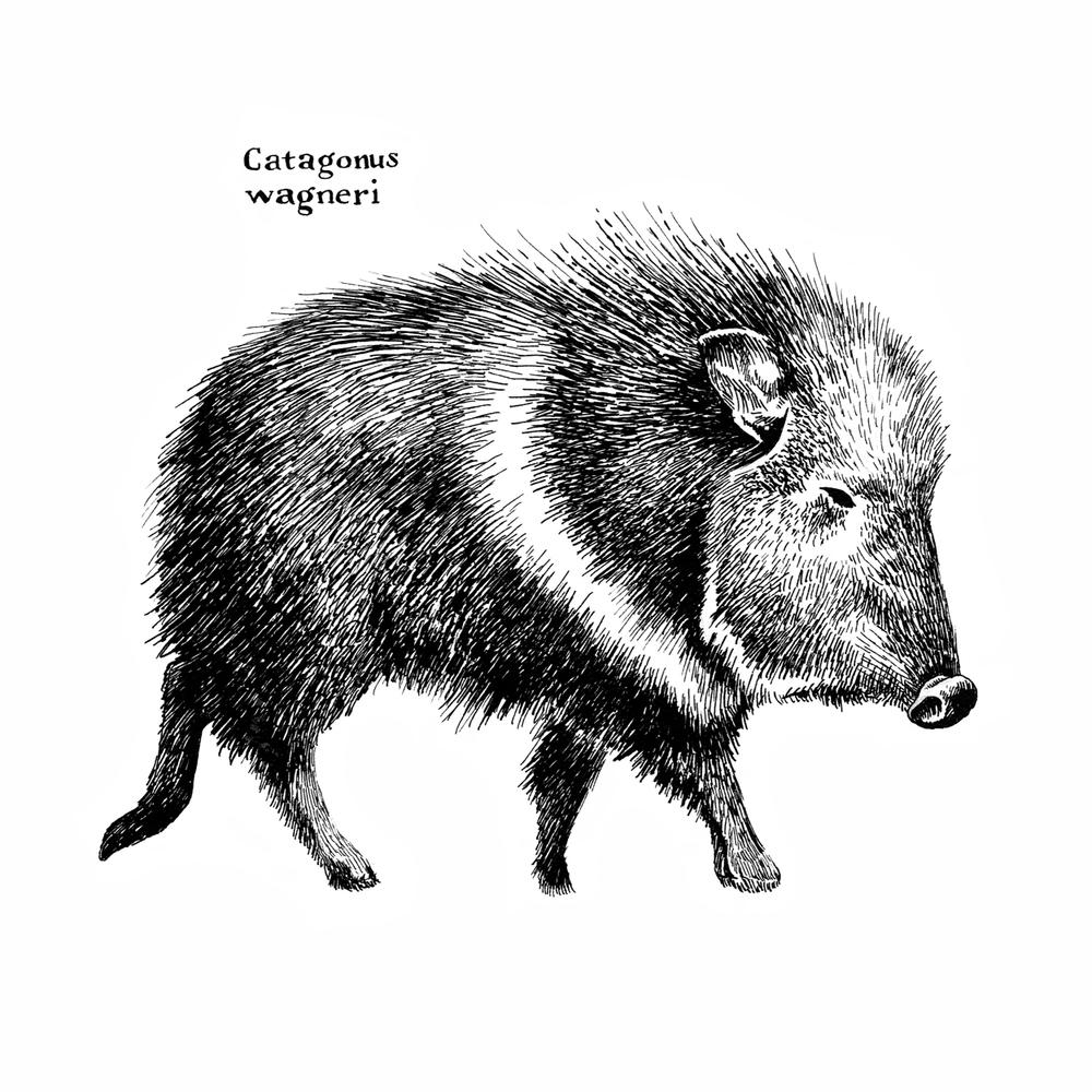 Catagonus-wagneri_Pig.jpg