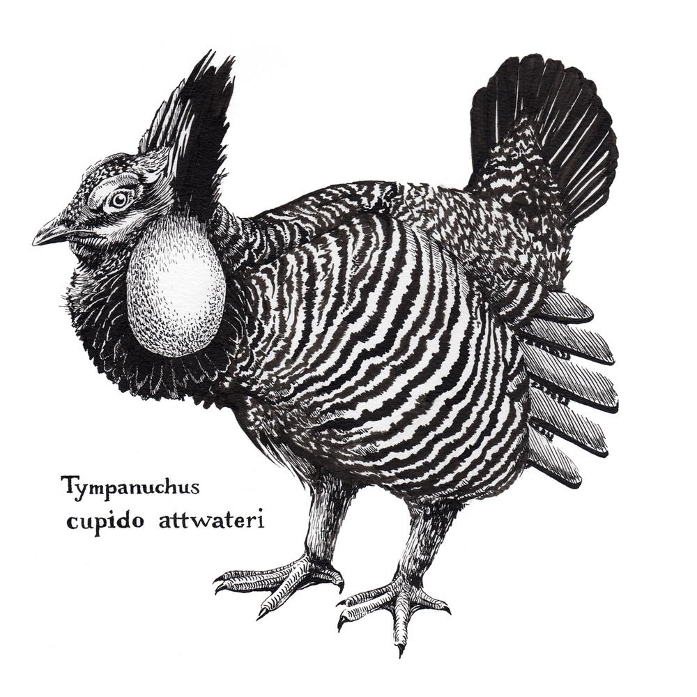Tympanuchus-cupido_Prairie-Chicken.jpg