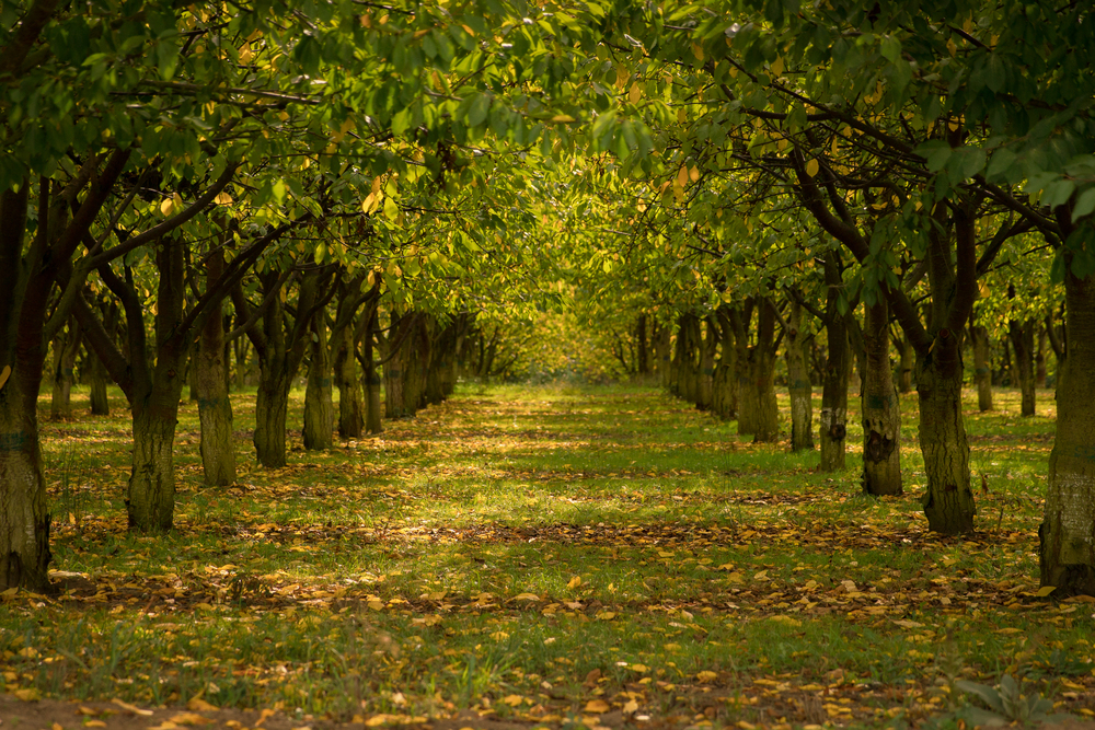 Hazelnuts-in-Fall-101815.jpg