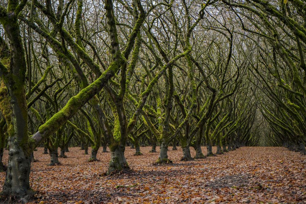 Mossy-Hazelnuts.jpg