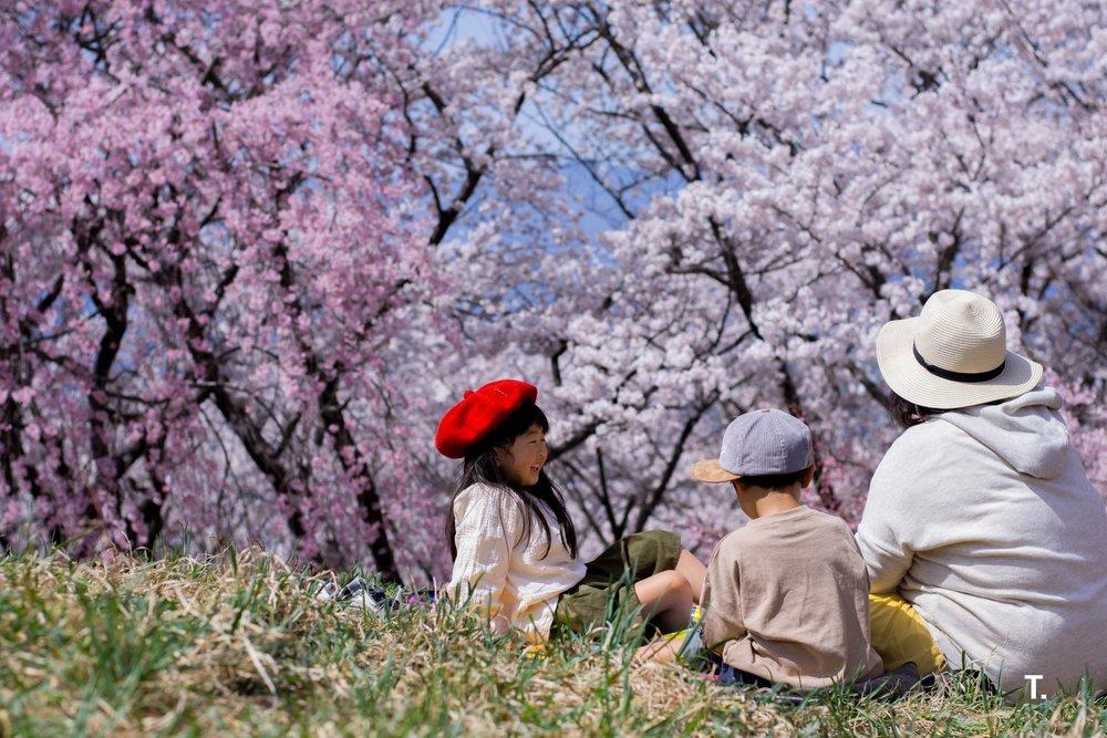 Cherry blossom viewing at Koboyama Park in Matsumoto
