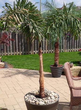 Backyard Palm