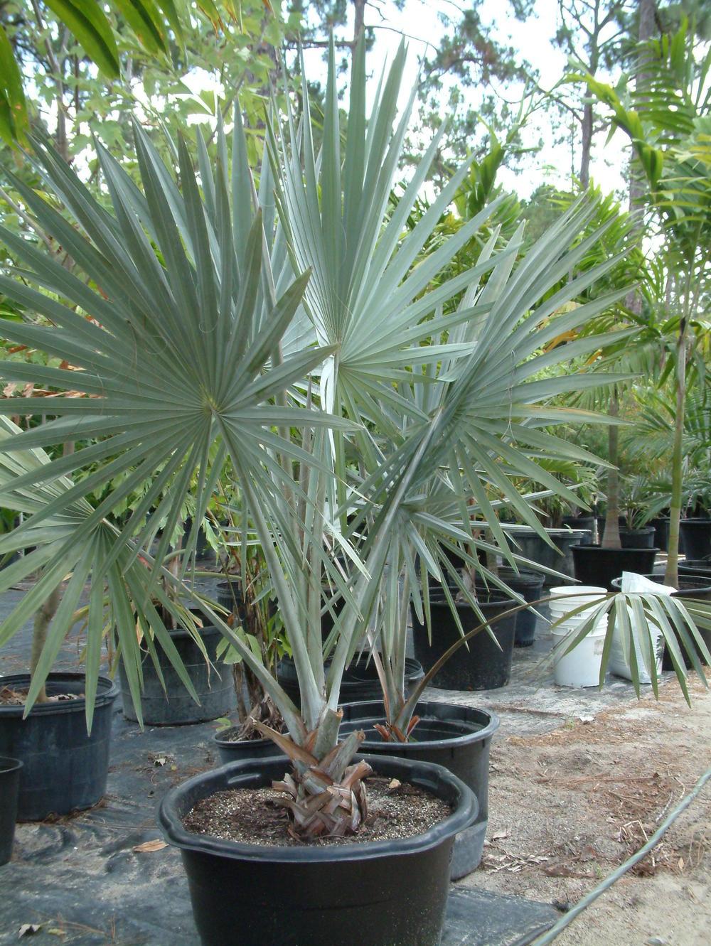 Bisarck Palm