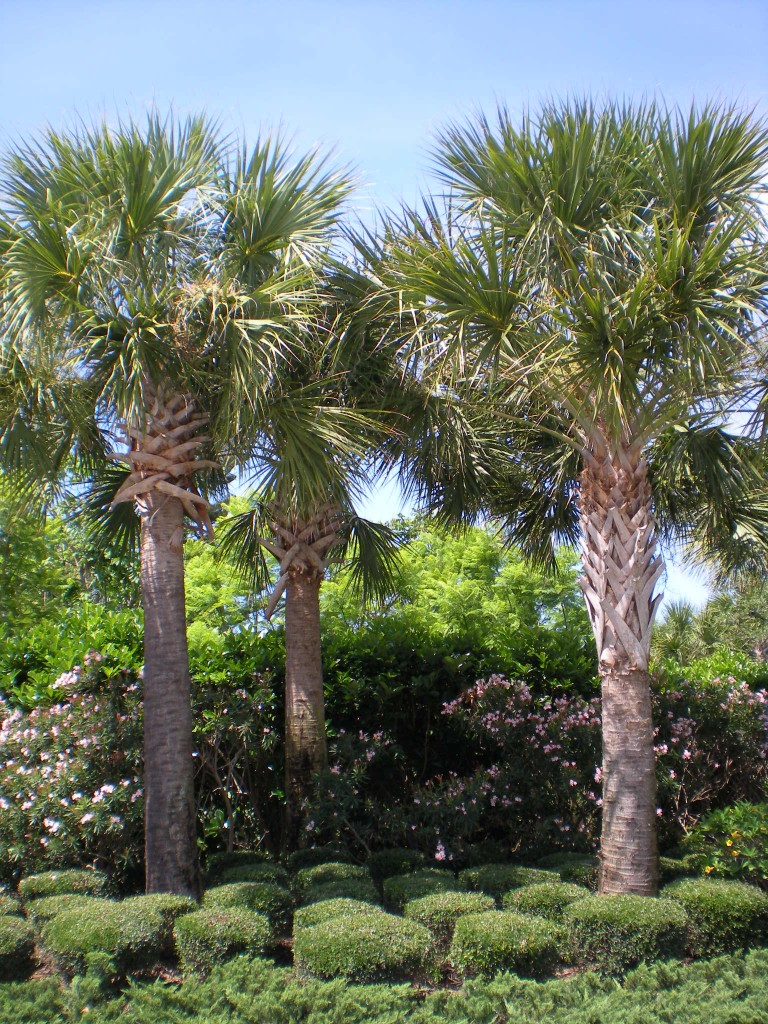 Cabbage Palmetto Palm Trees