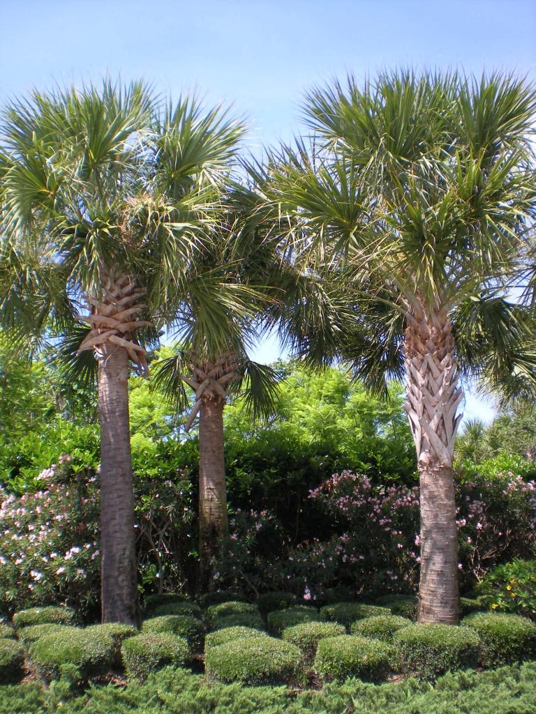 Cabbage Palmetto Palm Trees