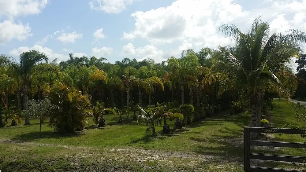 Xlb Palm Trees Ontario S Palm Tree Specialist Xlb Palm