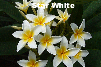 Darryl Exelby - star white.png