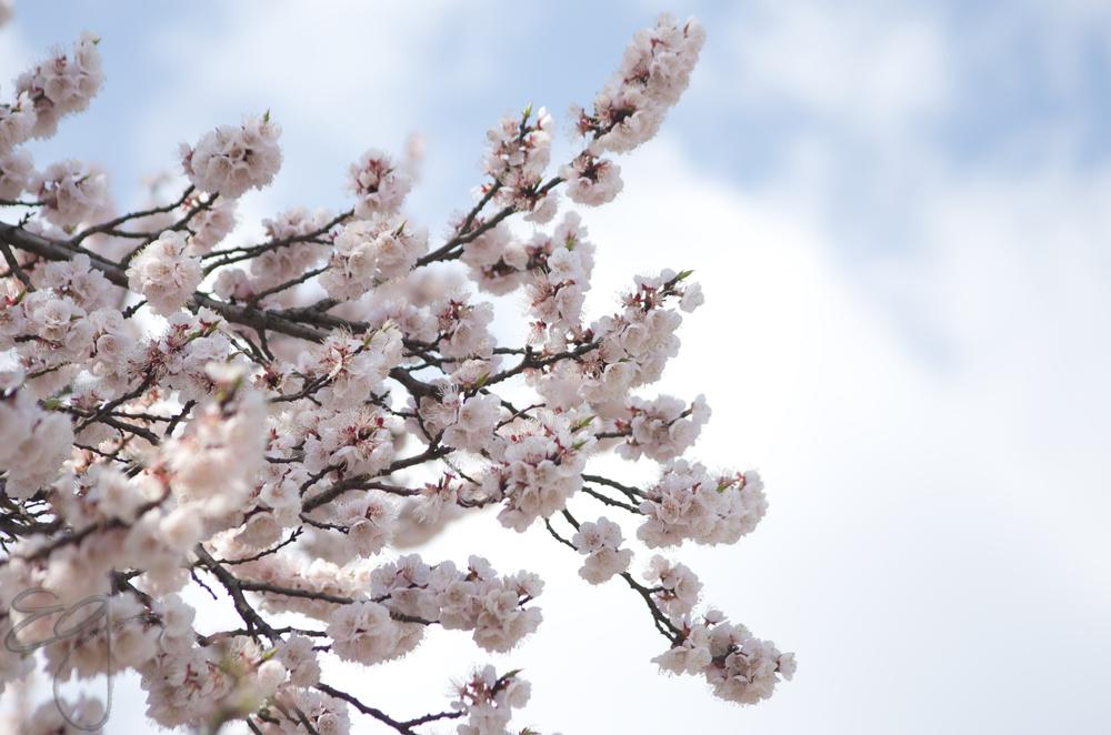 Cherry Blossoms, Seoul South Korea