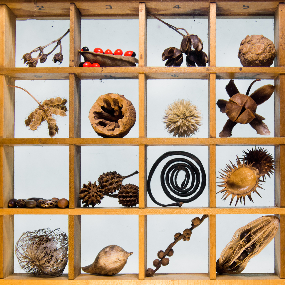 Common Seed Pod Collection (detail)