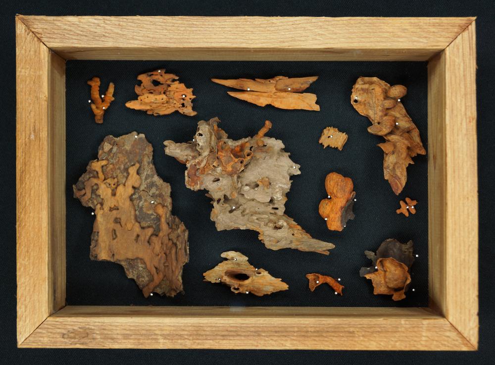 Tree Autopsy Specimen (Rust) I