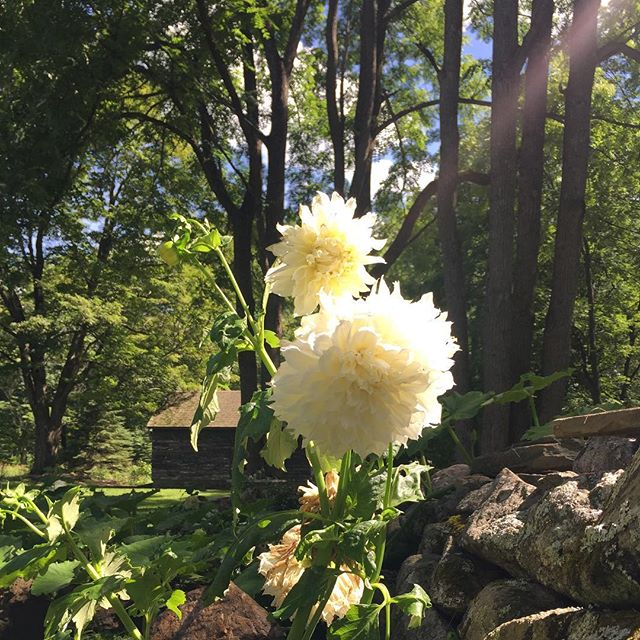 Dinnerplate dahlias in bloom #kent #kentct #kenthollow #dahlia #litchfieldcounty
