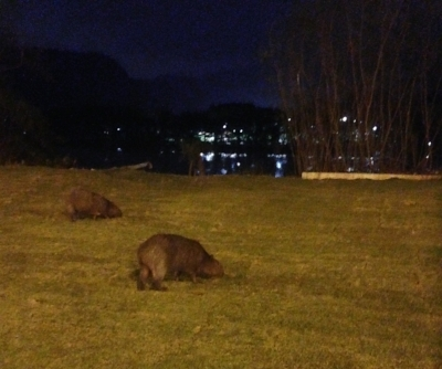 Some Ewok-sized capybaras, grazing quietly in Barra de Tijuca.