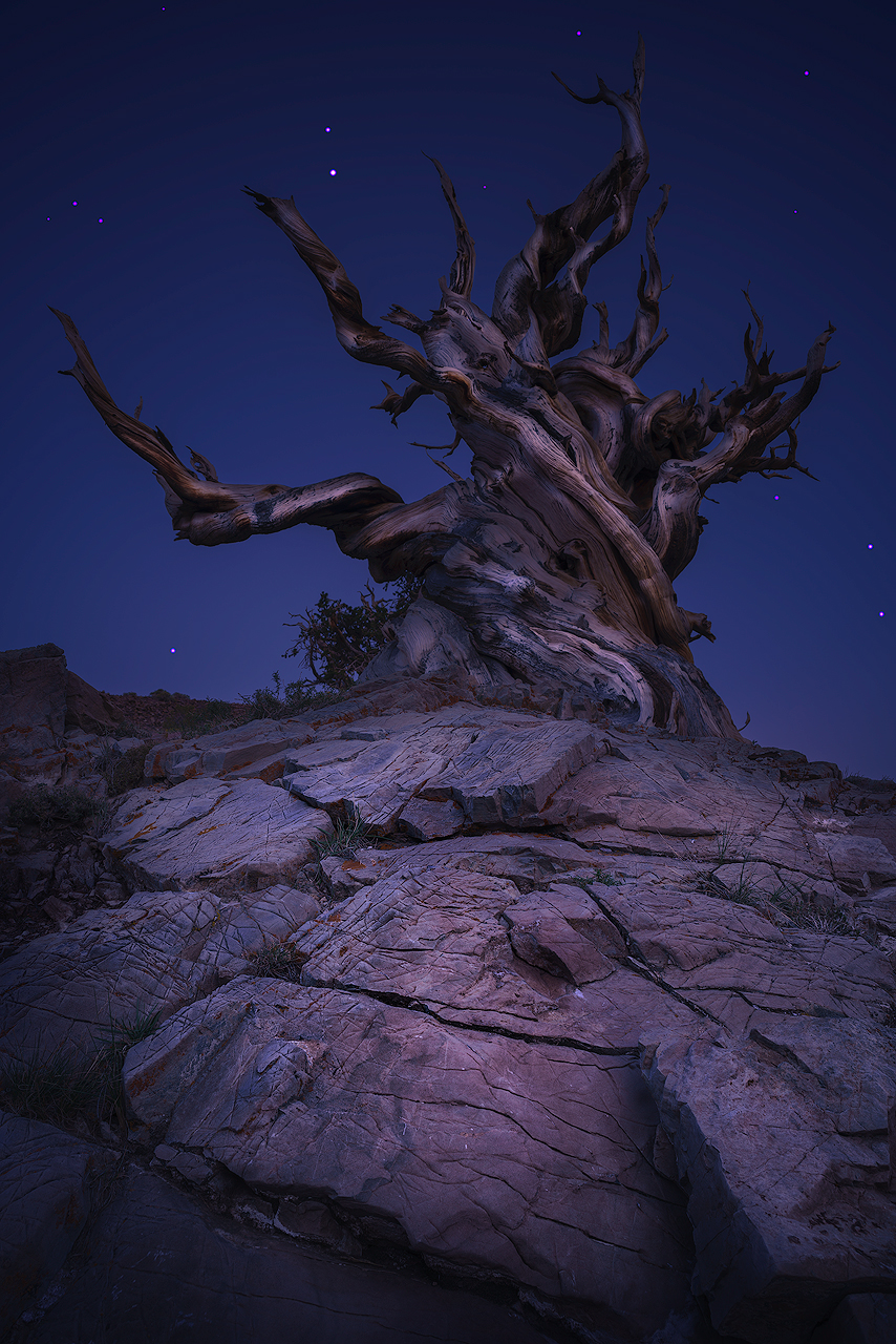 Path of the ancients. Some of these are over 4000 years old and only grow at xeric (drought tolerant) alpine conditions. Bristlecone Pine, Inyo National Forest.