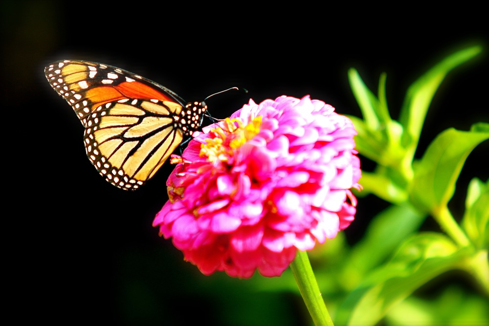 butterfly on Zinnia.jpg