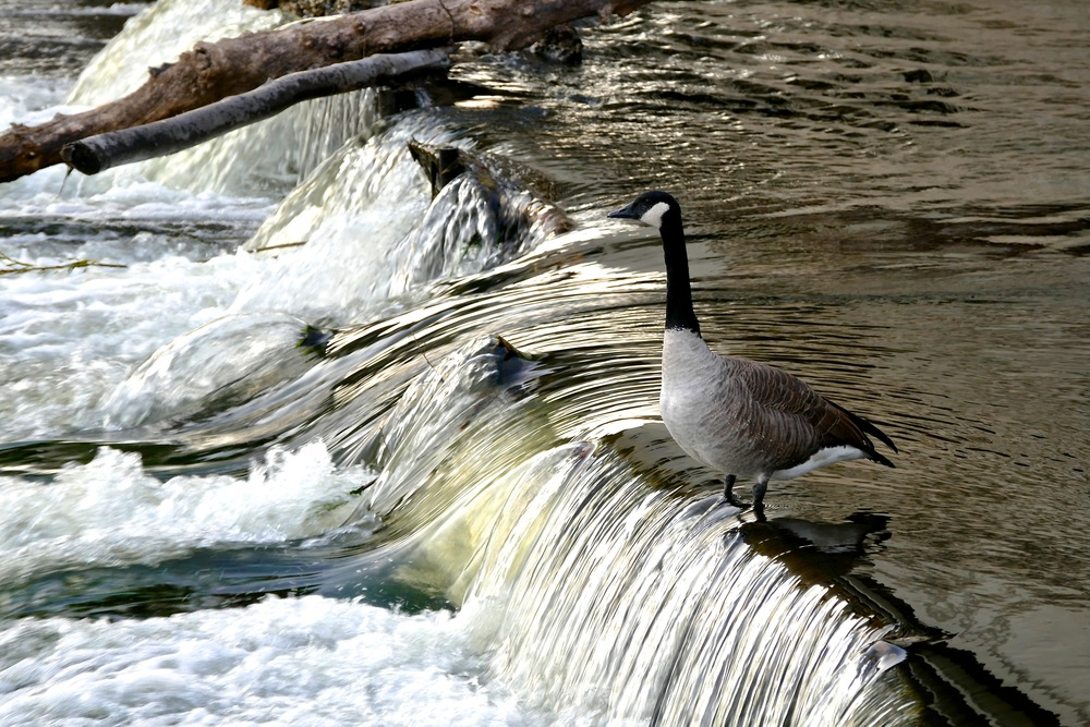 goose riding the falls.jpg