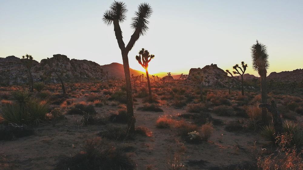 Joshua Tree National Park at sunset.