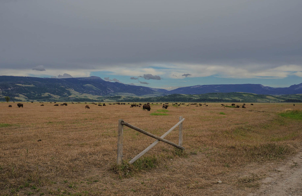 As we snapped pictures on Mormon Row, herds of bison started coming out.  The perfect end to a perfect day.