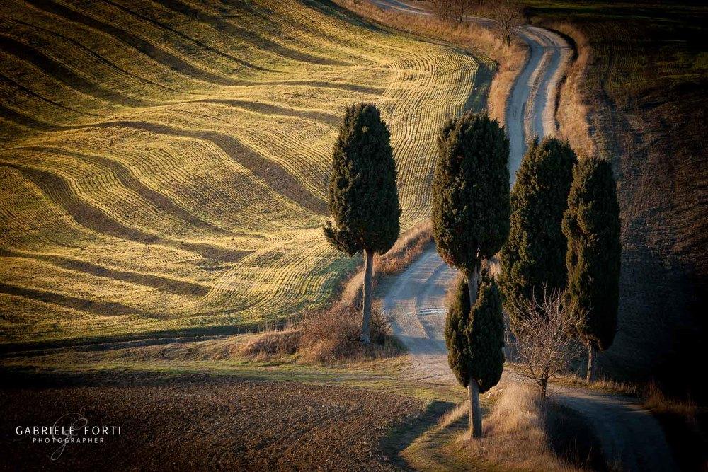 Tuscany Cypress.jpg