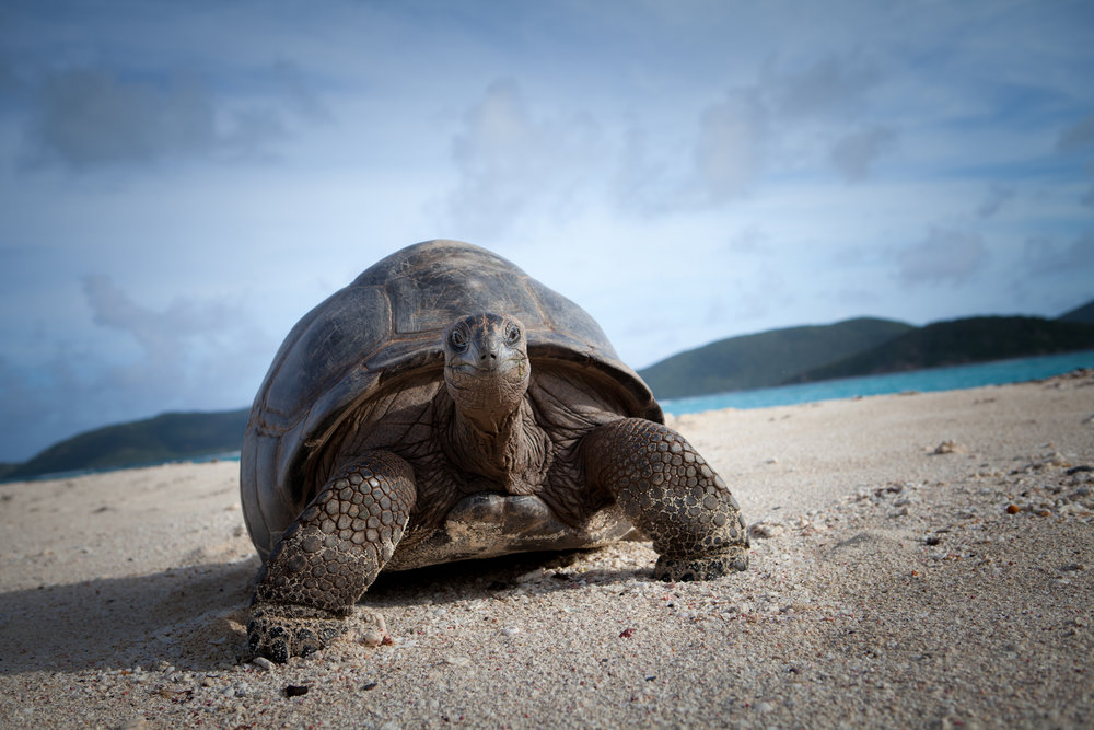 necker-island-tortoise-on-beach.jpg