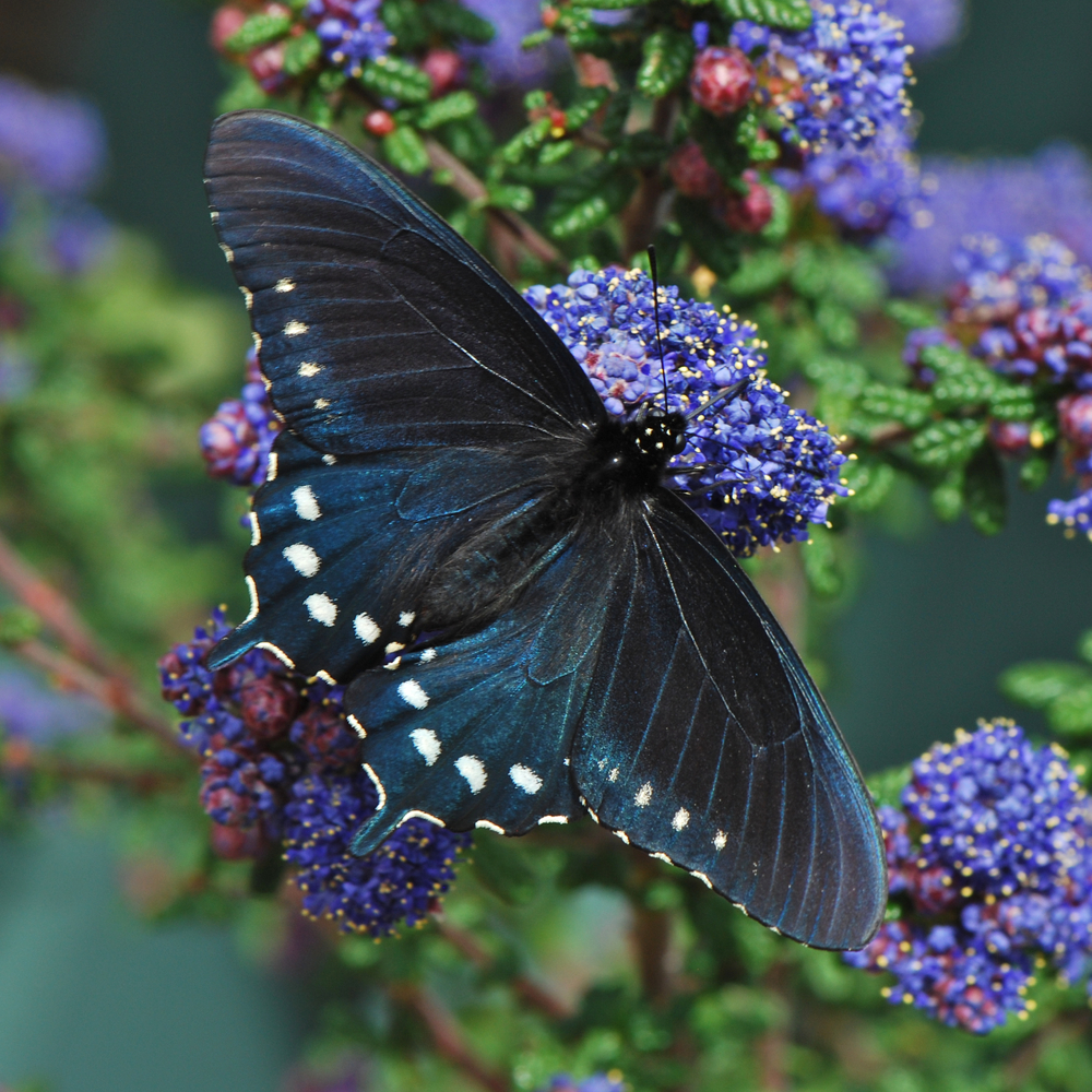 Pipevine Swallow Butterfly.jpg