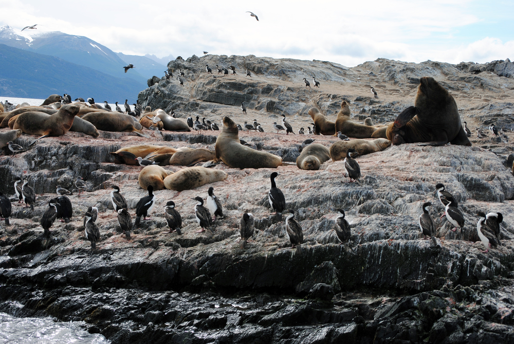 South American Sea Lions, Beagle Channel, Ushuaia, Argentina - Maggie a la Mode