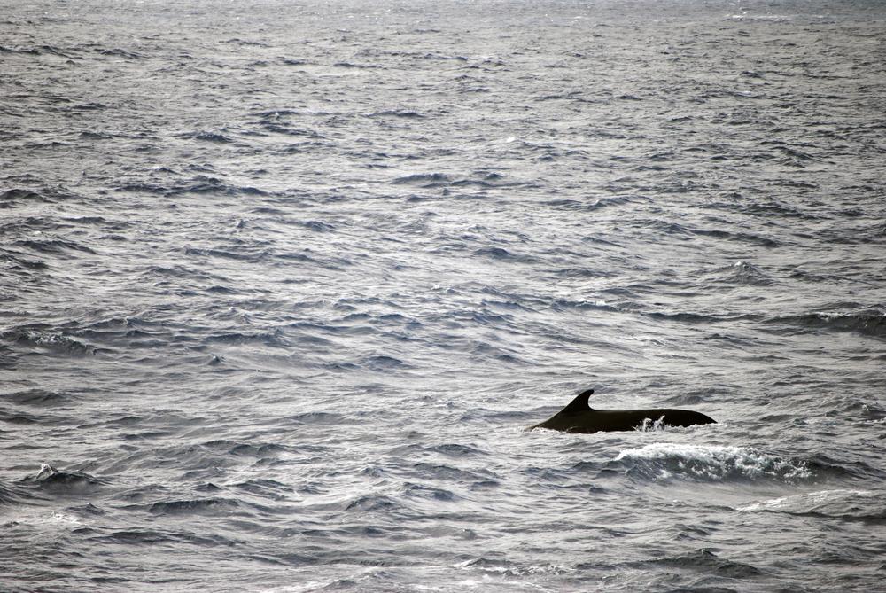 Fin whale, Drake Passage, Antarctica - Maggie a la Mode