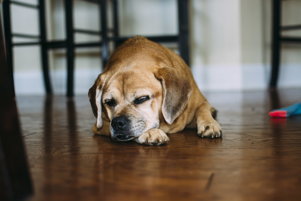 fort mill, sc family photographer  tired pup