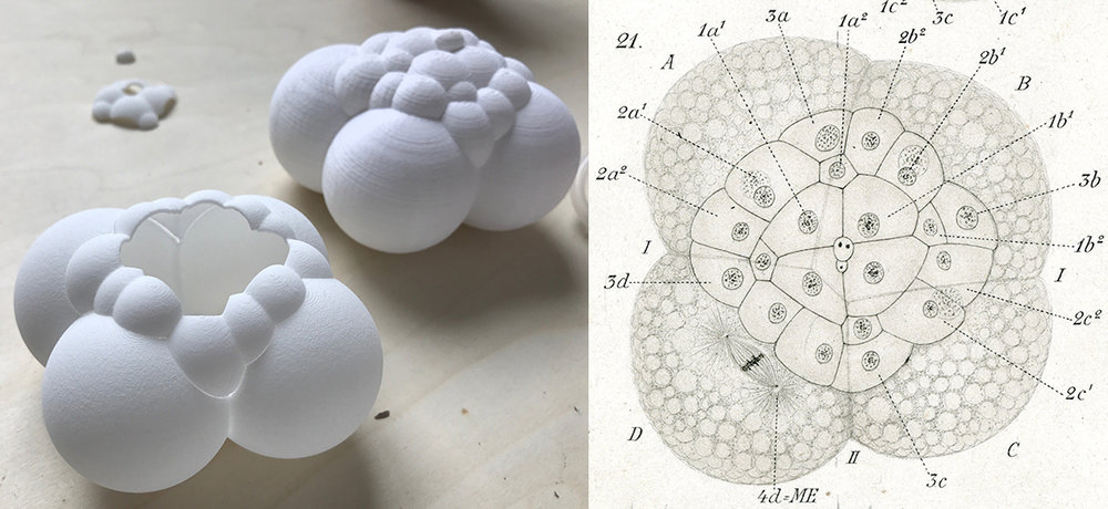 Left : 3D prints of a 24-cell stage Crepidula embryo. Modeled by Matt Muller from a confocal microscope z-stack volume.  Right : Conklin's figure of the same stage as the models from his 1897 paper.