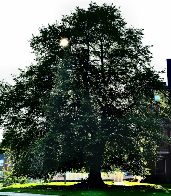 Legend has it that the seed for this Linden tree was brought from Germany by early Lutheran immigrants.  It stood on the grounds of Concordia Seminary and now overlooks Intersect Arts Center.