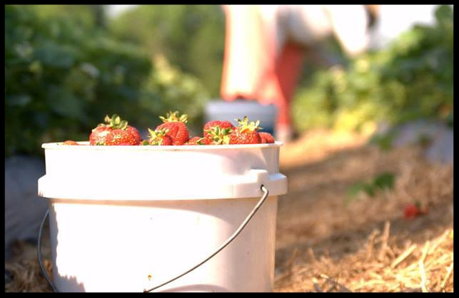 Ingram Strawberry Farm - 6131 Riverdale DriveHigh Point, NC 27263336-431-2369