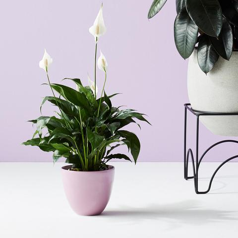 Ivy Muse Pots