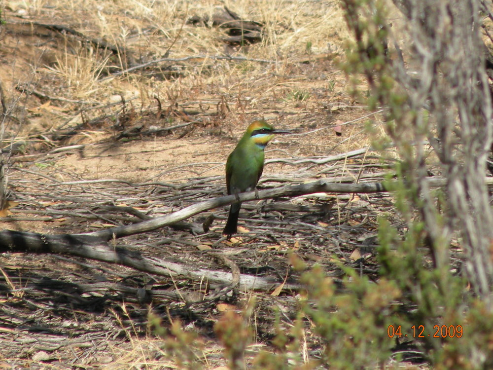 DSCN6999 - Rainbow Bee-eater - Low Res.JPG