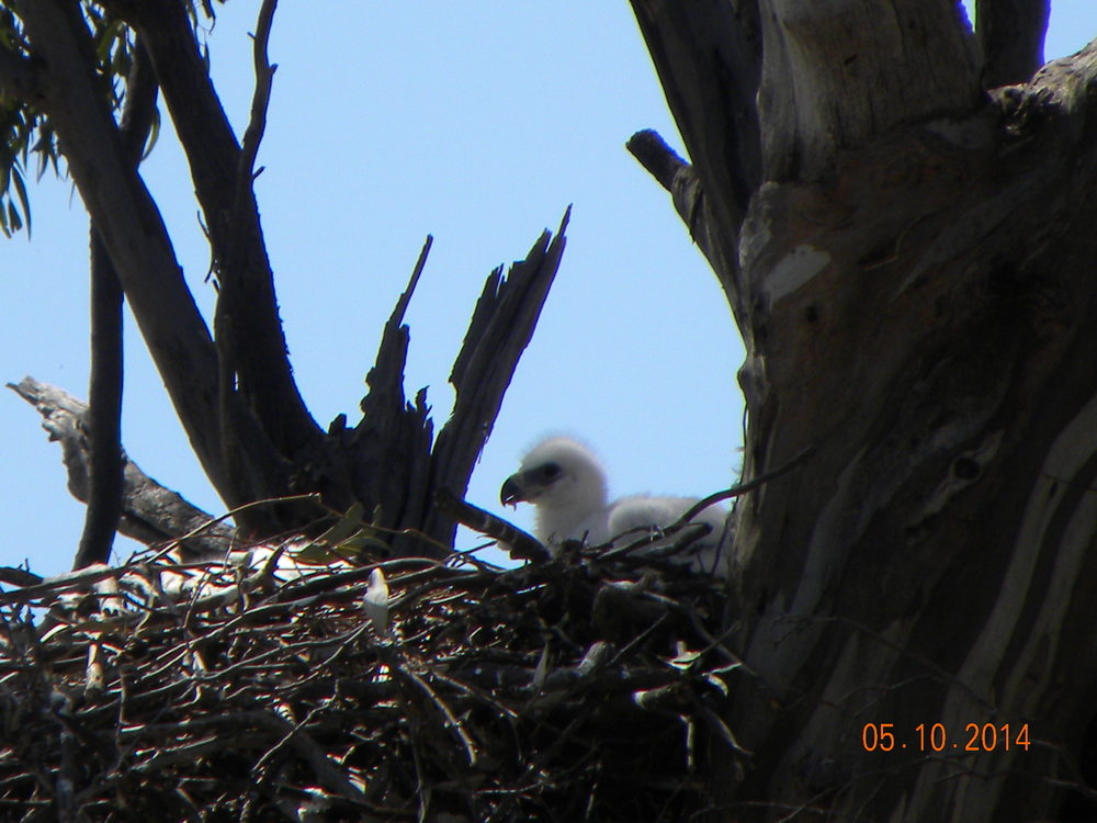DSCN6822 - Wedgetailed Eagle Chicks - Medium Res.JPG