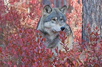 Wolf-3935759-216px.jpg