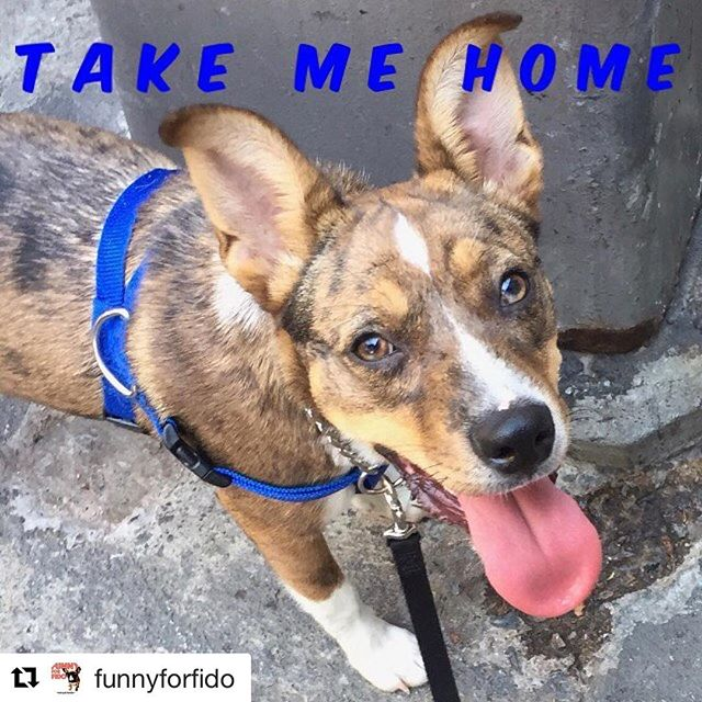 #Repost @funnyforfido with @repostapp ・・・ Meet Layla- the @funnyforfido adoptable dog of the week. She's a smart, affectionate Catahoola/ Pit mix. Under 6 months old. Contact @waggytailrescue to meet her #adoptdontshop