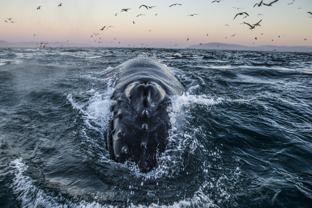 The mighty Humpback. Photo: Paul Nicklen