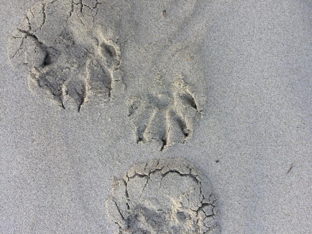 Racoon Tracks