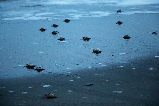 hatchlings head to sea 2 7-16.jpeg