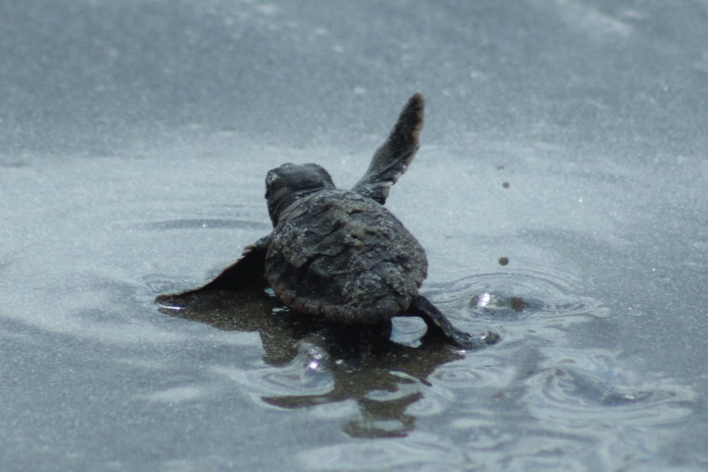 babyturtlewaving (2)cropped 10-17.jpg