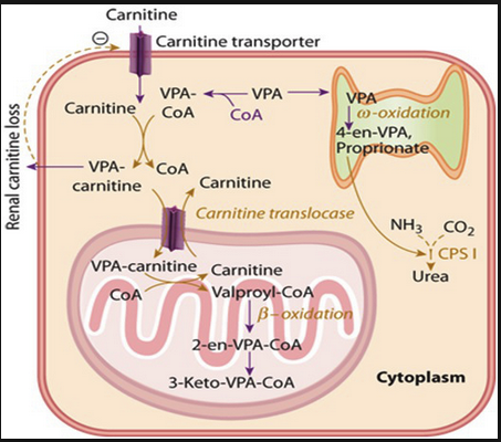 The mechanism is too complicated for me, but basically carnitine administration helps the cell detox valproic acid.