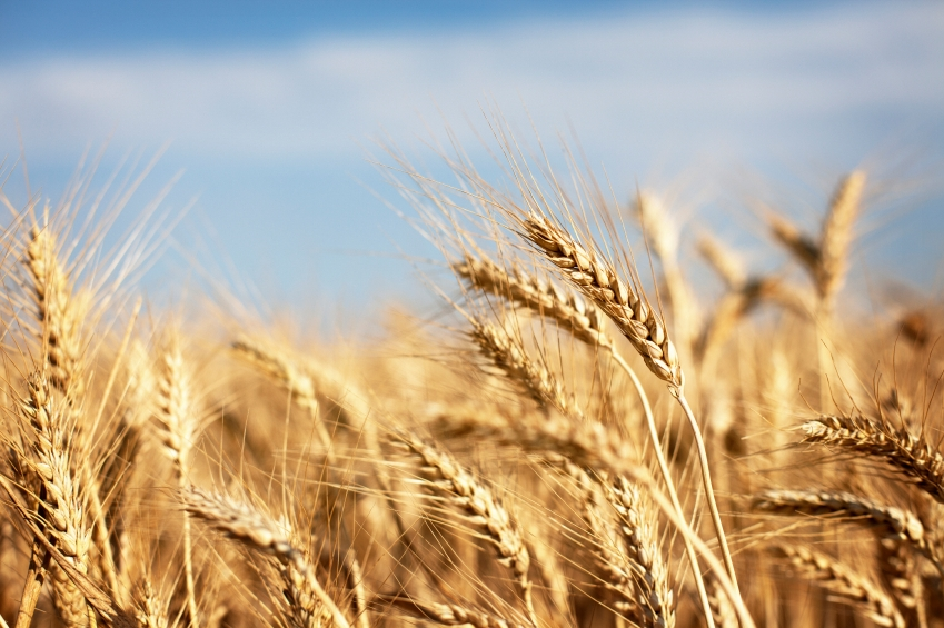 wheat204.jpg