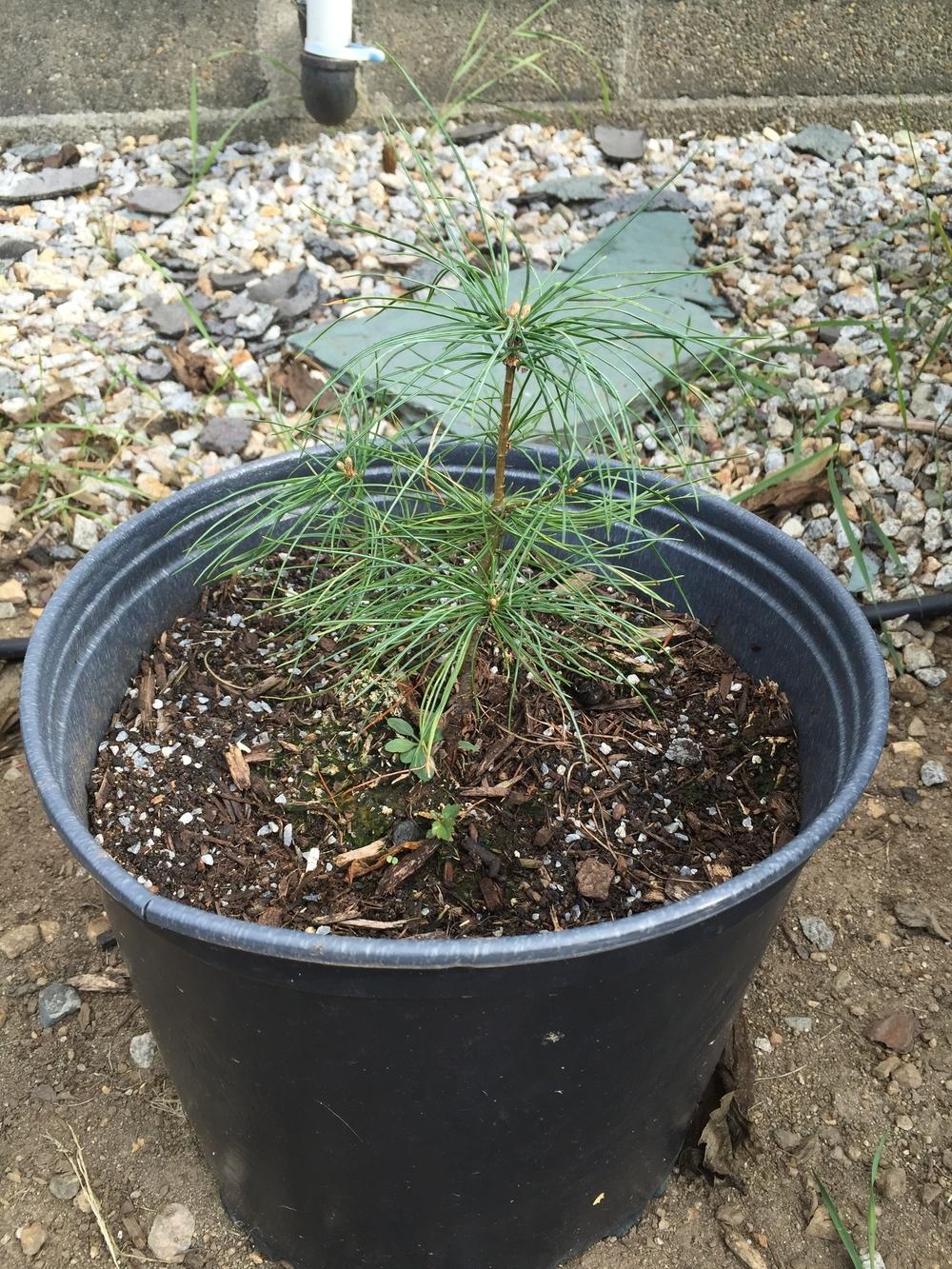 king-pine-tri-pine-tree.jpg