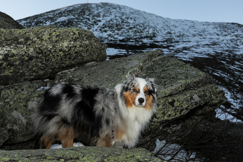 Squall Australian Shepherd Mount Washington.jpg