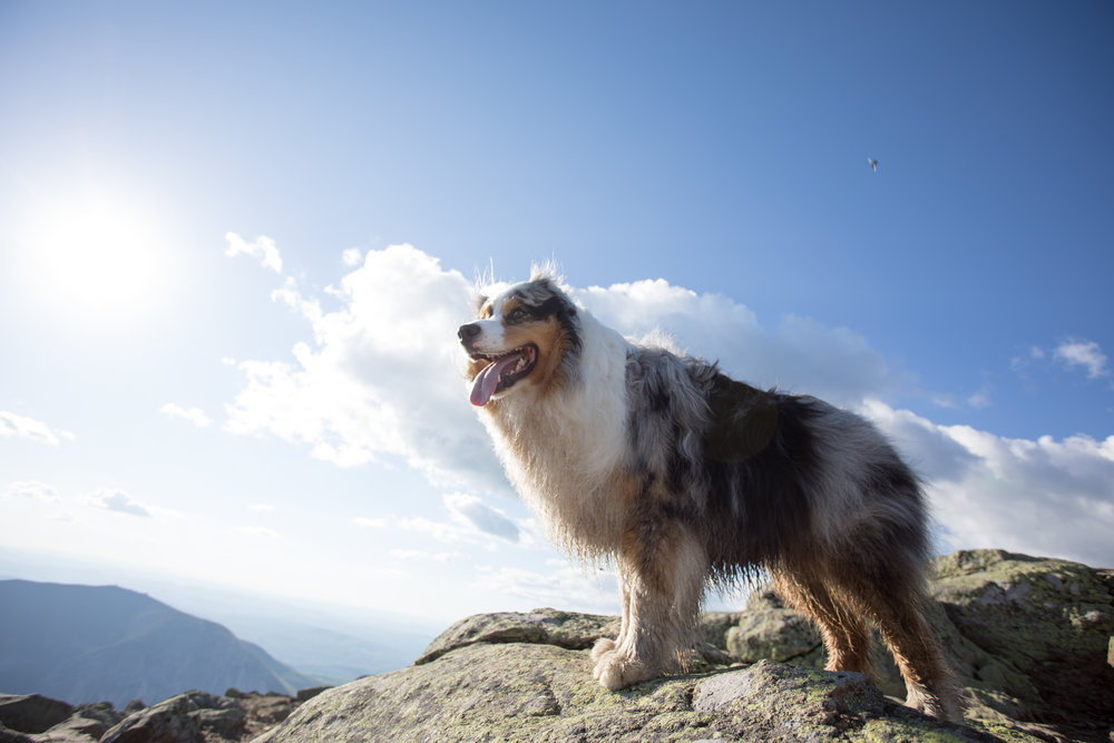 Australian Shepherd Hiking.jpg